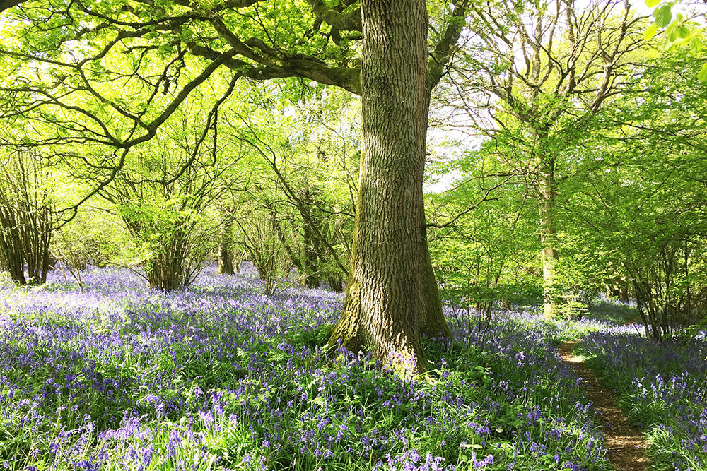 Deciduous forest at springtime in the South of England
